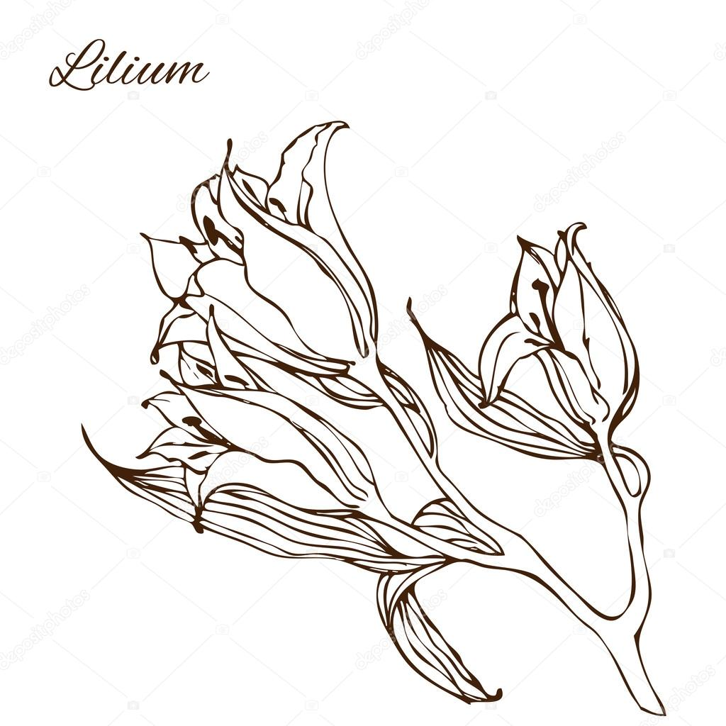 1024x1024 Vector Illustration With Hand Drawing Lily Flowers Stock Vector