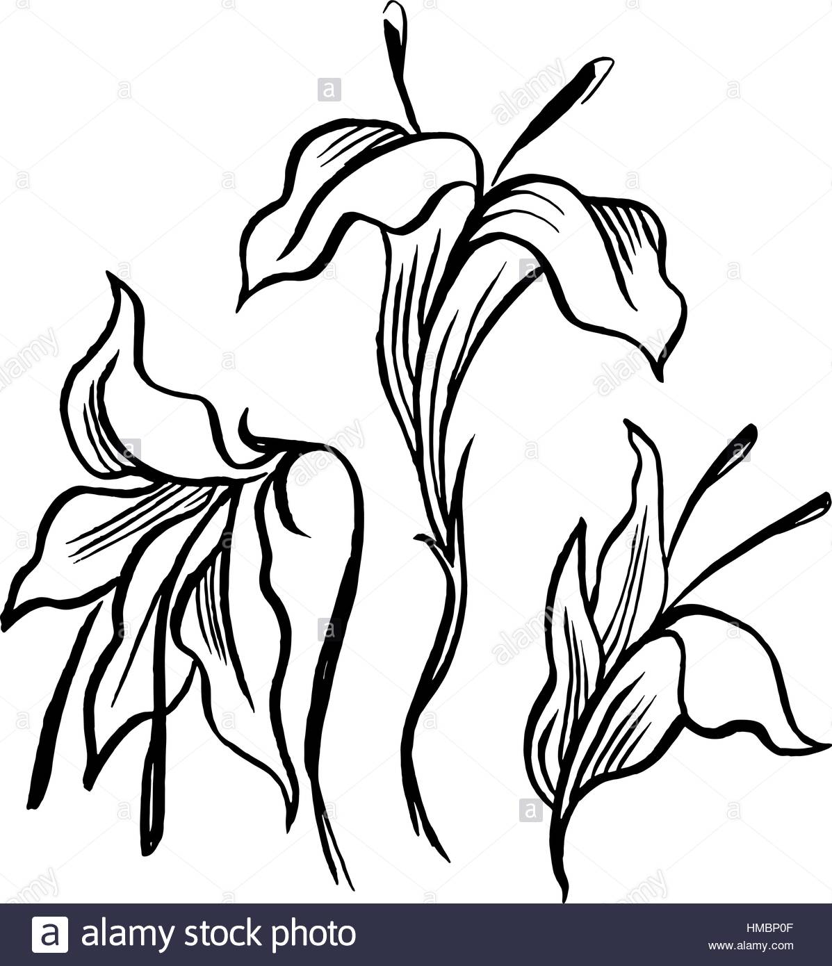 1197x1390 Vector Sketch Black Contour Of Lily Flowers Stock Vector Art