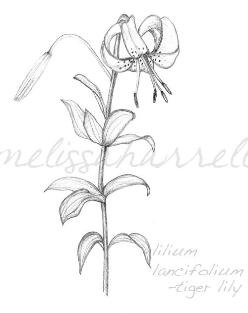 500x631 Tiger Lily Drawing. Vector Rose Easy Vase Outline Daisy Flower