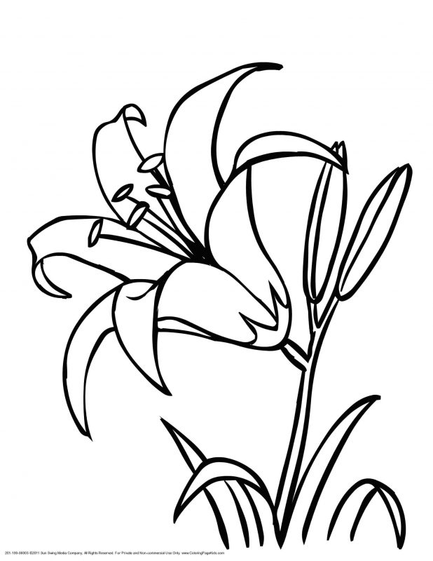 618x800 Coloring Pages Wonderful Flower Drawing Outline. Lily Flower