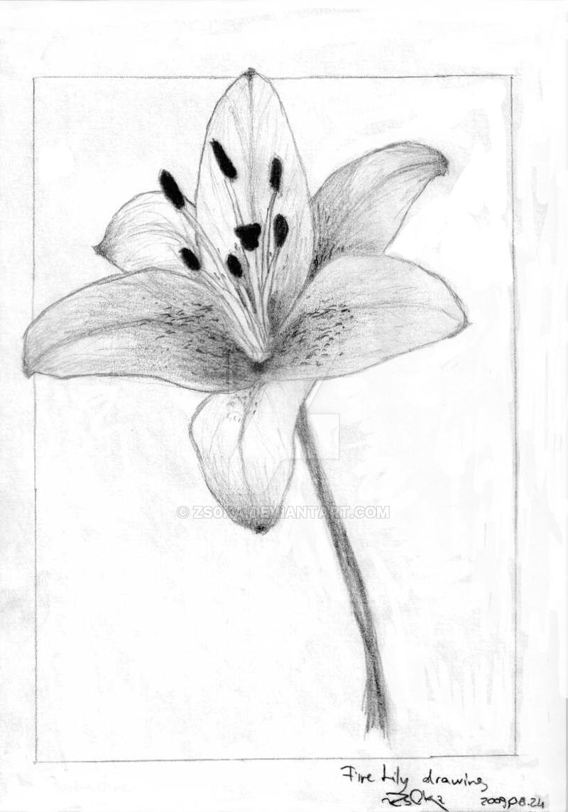 800x1143 Fire Lily Drawing By Zs0ka