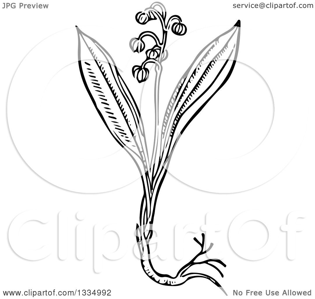 1080x1024 Clipart A Black And White Woodcut Herbal Medicinal Lily