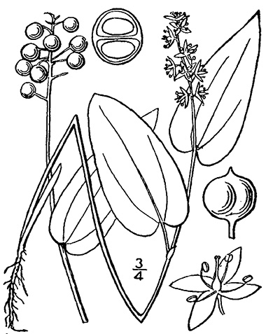 Lily Of The Valley Line Drawing