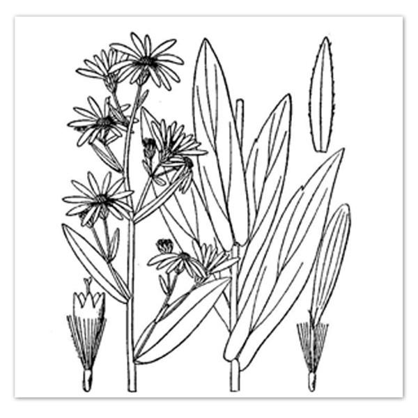 600x600 Convallaria Majalis, Lily Of The Valley Sugar Creek Gardens