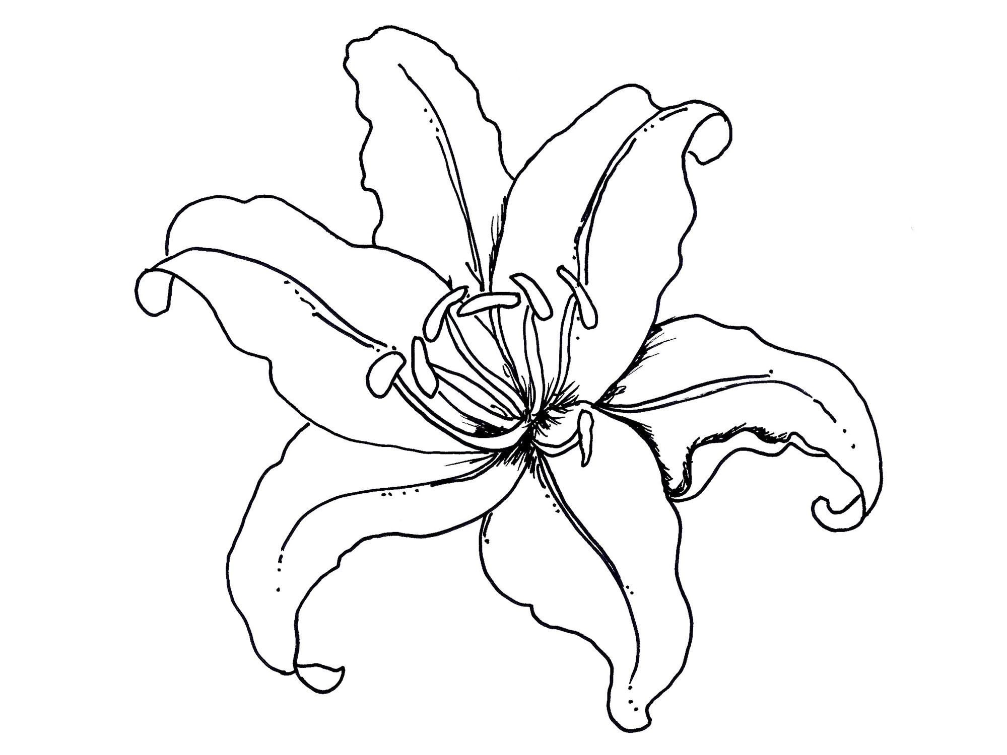 1999x1500 Lilium Flower Coloring Pages For Kids Lovely Clipart Lily Pad
