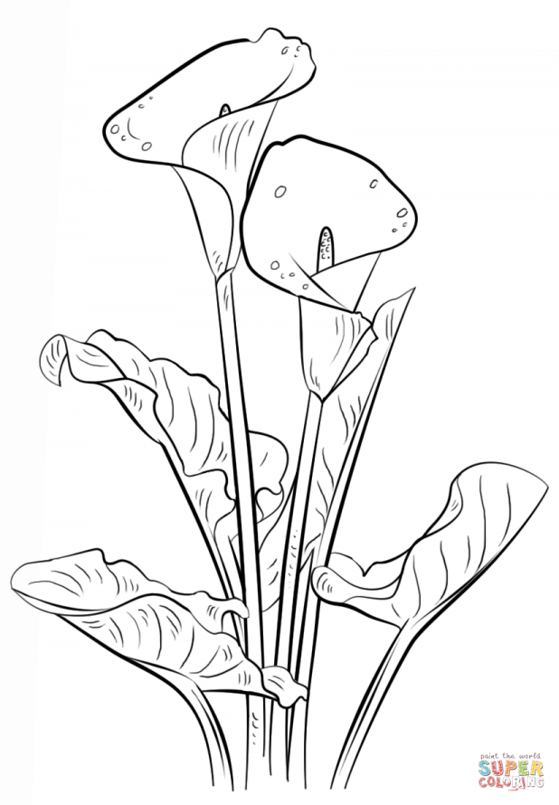 618x890 Adult Calla Lily Drawing Calla Lily Leaf Drawing. Calla Lily
