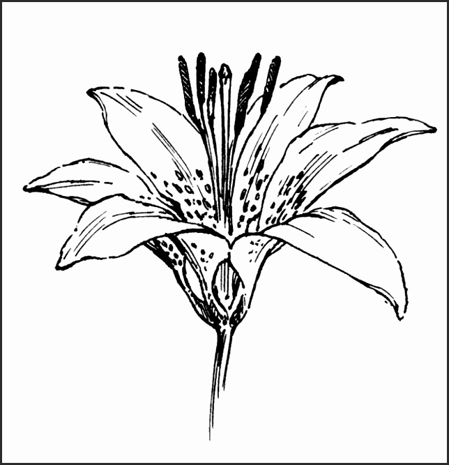 644x667 Drawings Of Lilies Flower Qinzg New How To Draw A Lily Flower Draw