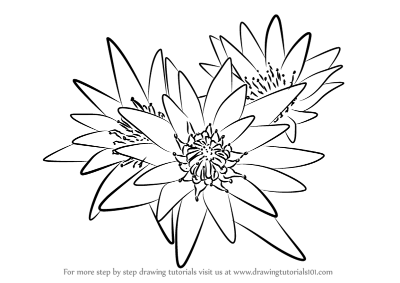 800x567 Learn How To Draw Water Lily Plant (Lily) Step By Step Drawing