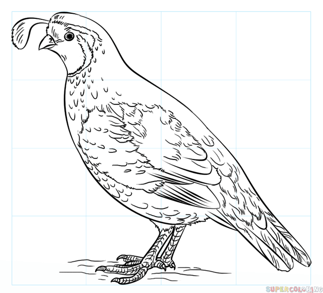 634x575 How To Draw A California Quail Step By Step Drawing Tutorials
