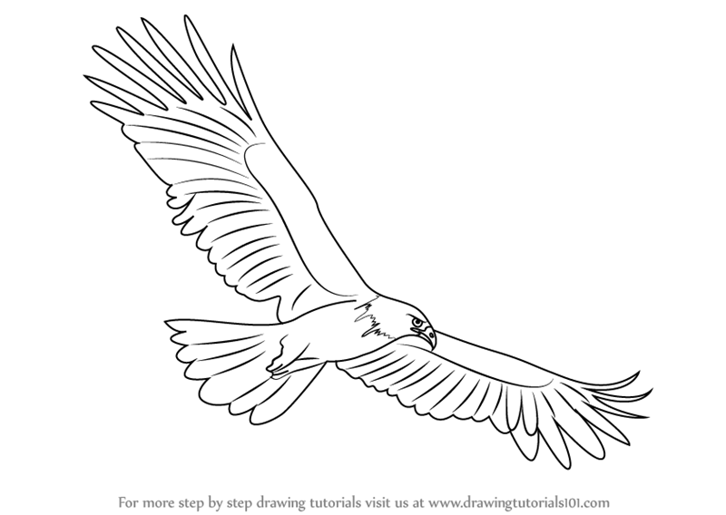 800x568 Learn How To Draw A Black Eagle (Birds) Step By Step Drawing