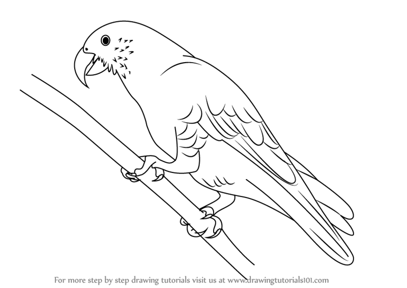 800x566 Learn How To Draw A Kaka (Parrots) Step By Step Drawing Tutorials