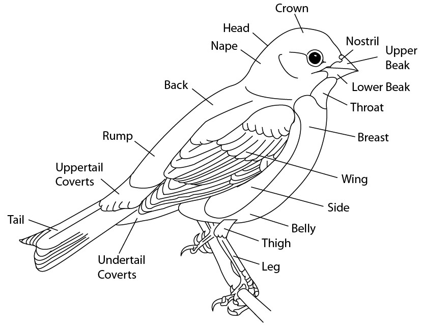 827x645 Bird Scientific Line Drawing By Kaevia