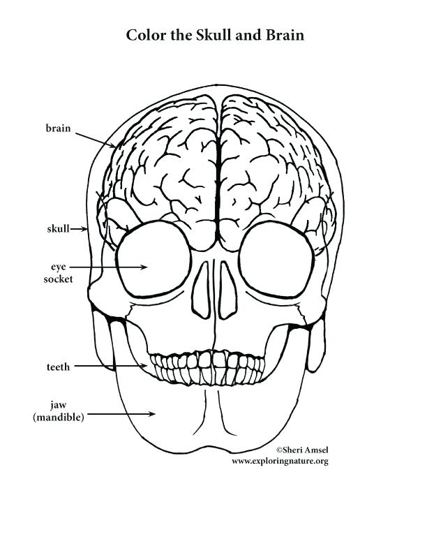 612x792 Brain Coloring Page Coloring Page Brain Bottom View Brain Coloring