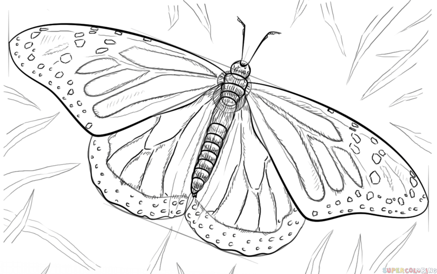 900x565 How To Draw A Monarch Butterfly Step By Step Drawing Tutorials
