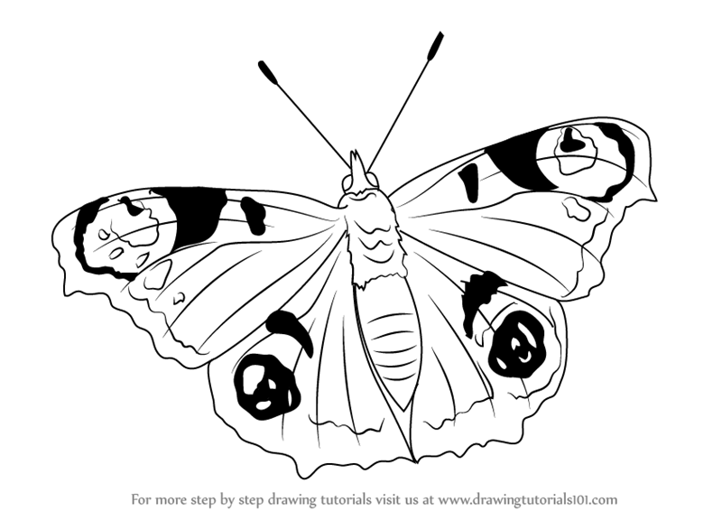 800x566 Learn How To Draw A Peacock Butterfly (Butterflies) Step By Step