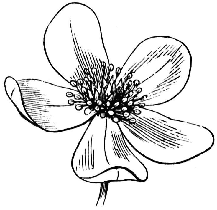 736x715 Line Drawing Of Flowers Clipart