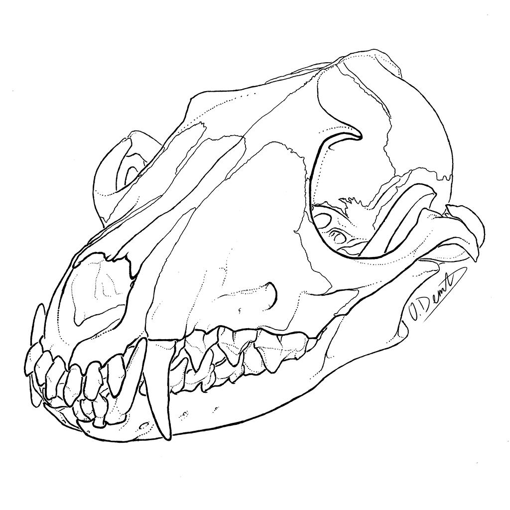 1024x1024 Red Fox Skull Oliver Demuth