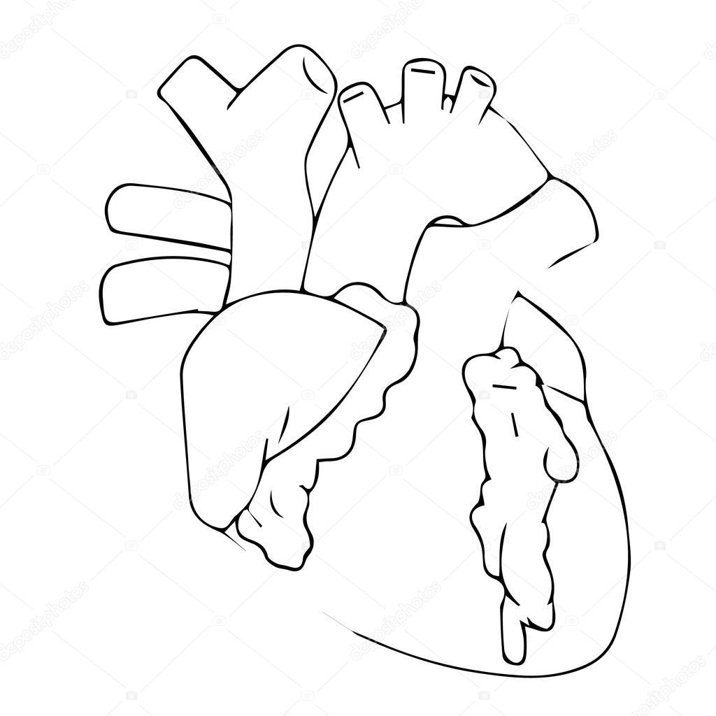 1024x1024 Heart Vector Illustration. Human Heart. Heart Icon. Heart Logo