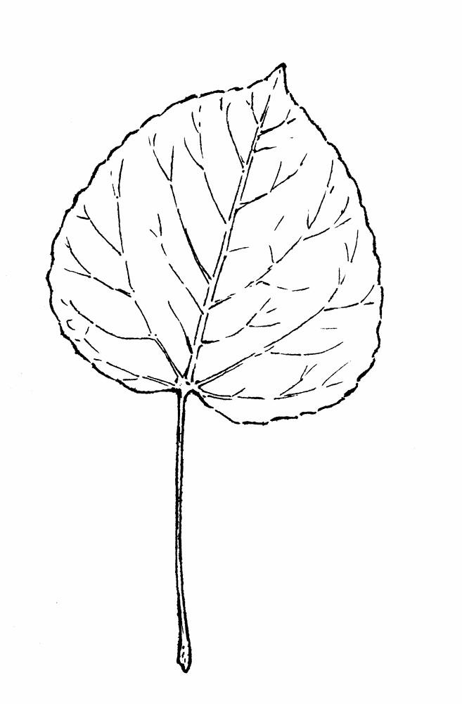 657x1000 Populus Tremuloides (Quaking Aspen, Quaking Poplar) Go Botany
