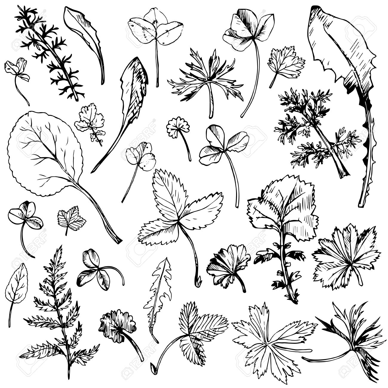 1300x1300 Set Of Ink Drawing Leaves Of Wild Plants, Line Drawing Wild Herbs