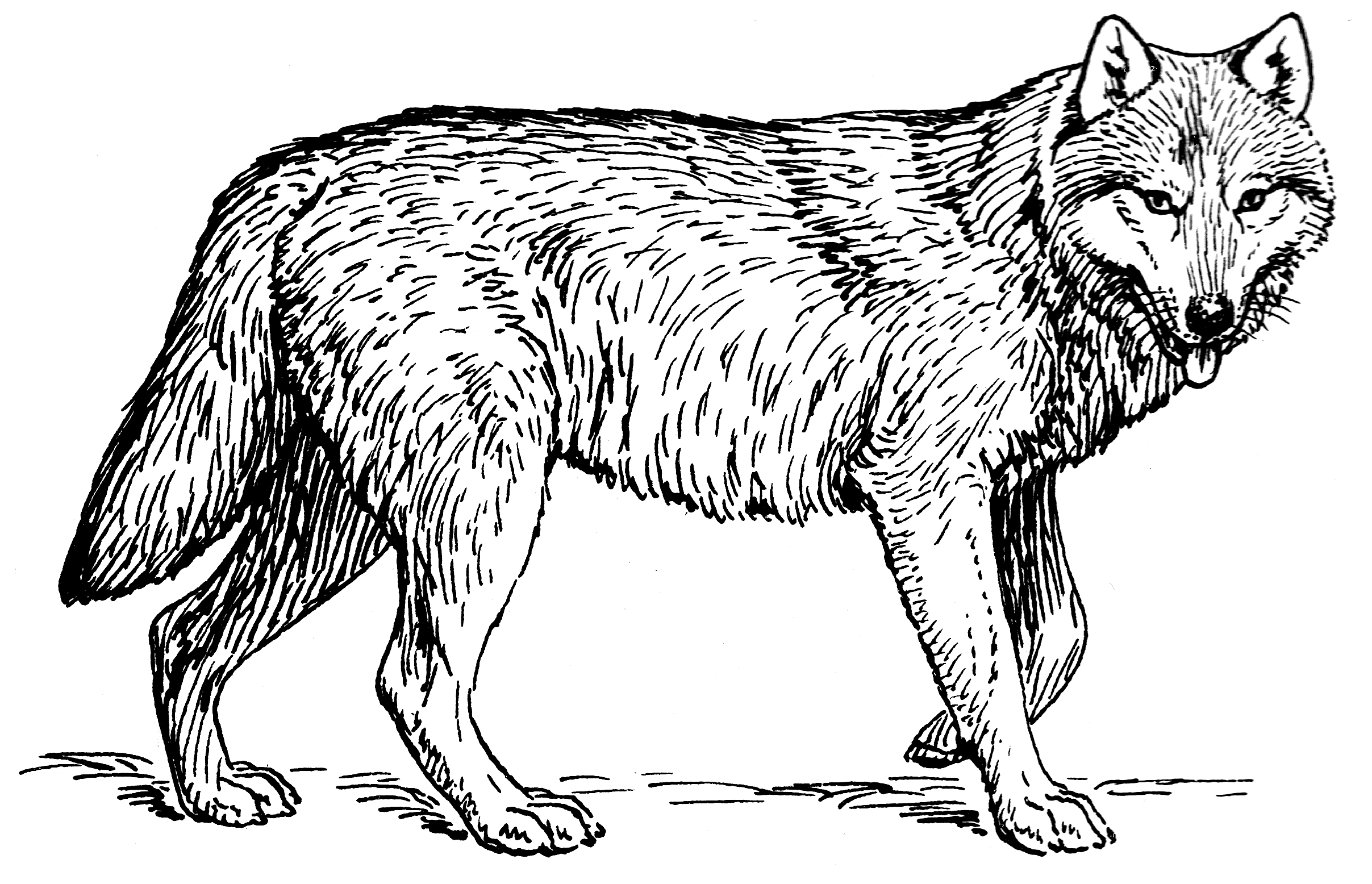 Line Drawing Of A Wolf at GetDrawings.com | Free for personal use ...