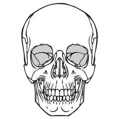 240x240 Human Skull Line Drawing
