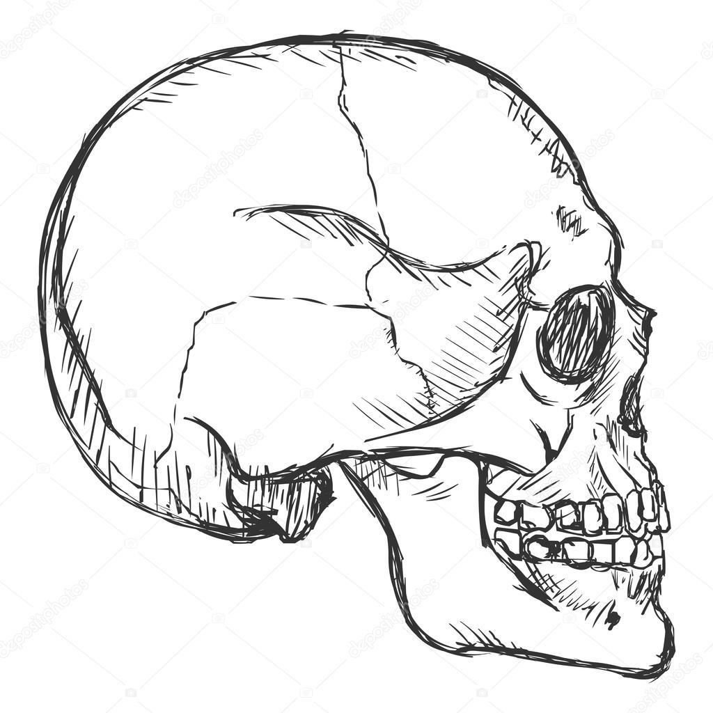 1024x1024 Sketch Side View Skull Stock Vector Nikiteev