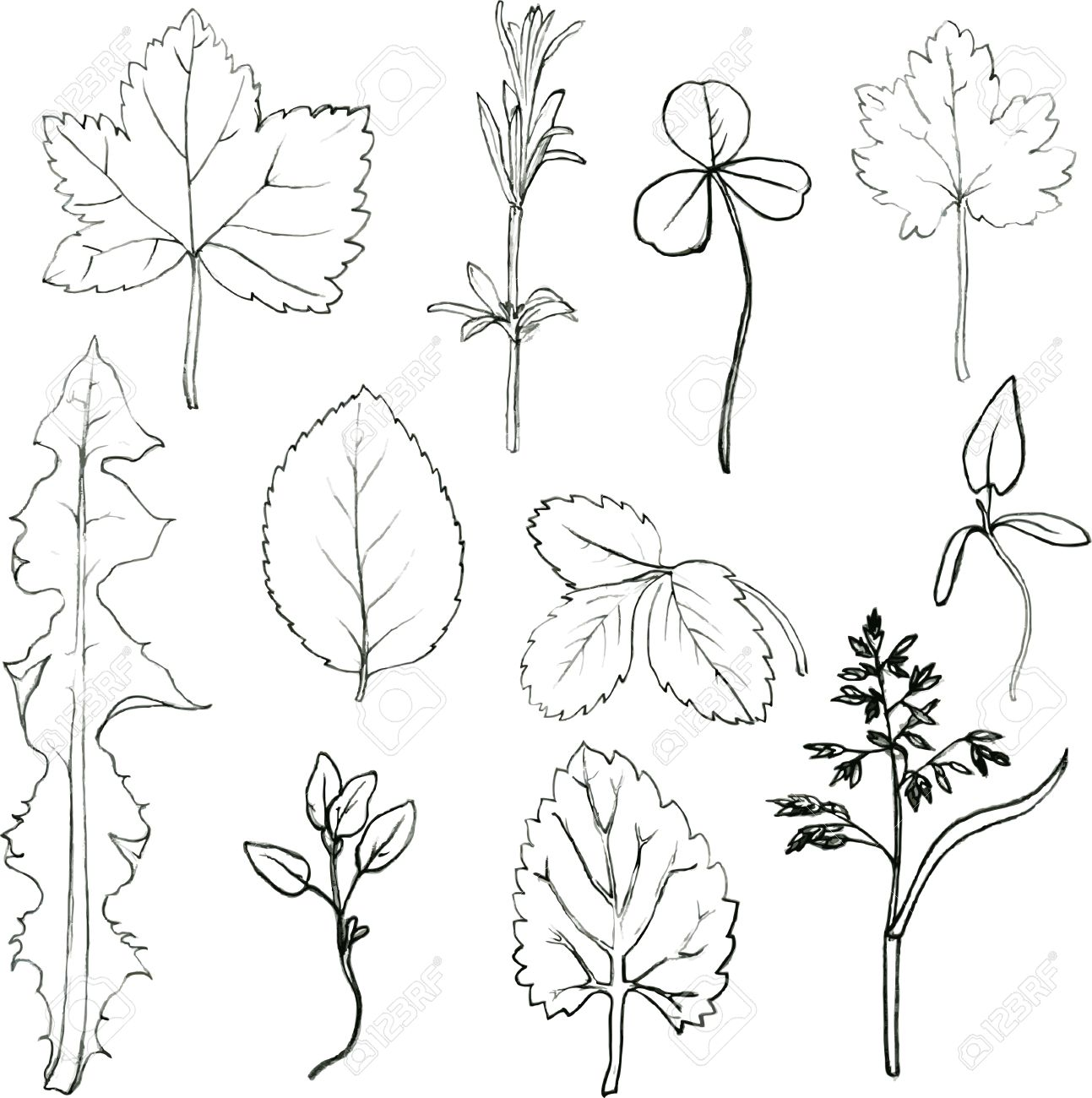 1293x1300 Set Of Pencil Drawing Herbs And Leaves, Painted Graphite Pencil