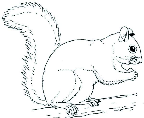 600x490 Squirrel Coloring Pages 19 Forest Squirrel