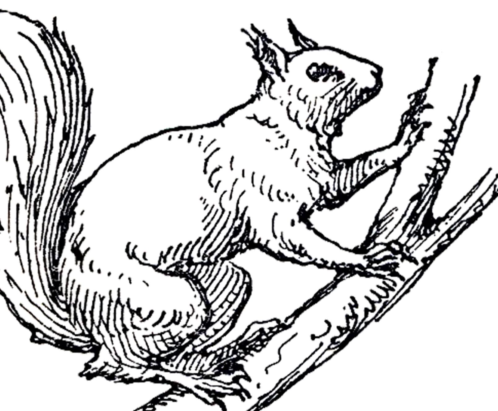 1608x1329 Vintage Squirrel Illustration Squirrel Illustration, Squirrel