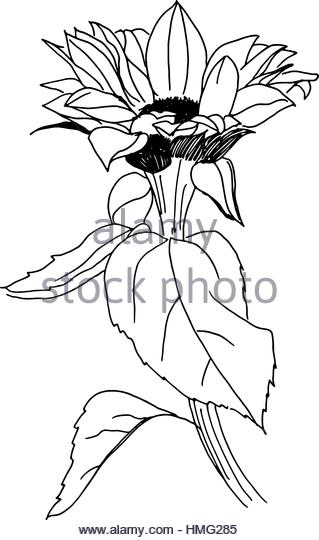 319x540 Freehand Line Drawing Sunflower Stock Photos Amp Freehand Line