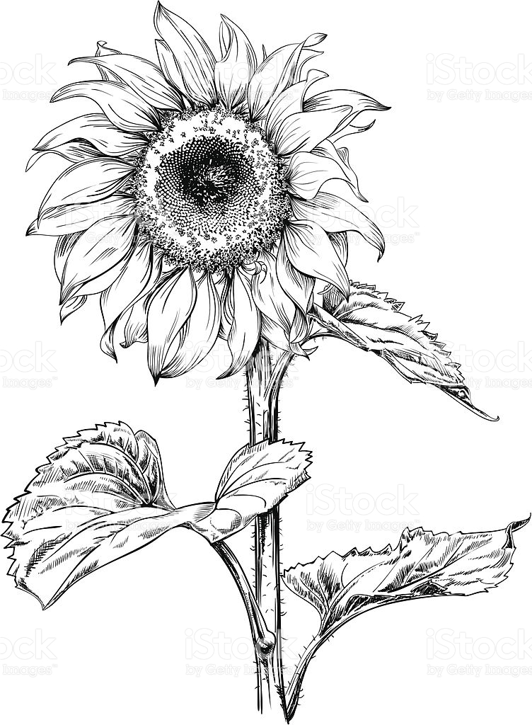 752x1024 Hand Drawn Vector Artwork In Pen Amp Ink Style Of A Sunflower