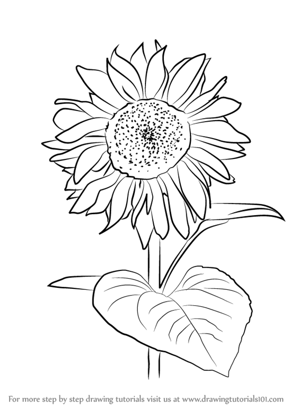 566x800 Learn How To Draw Sunflower Plant (Sunflower) Step By Step