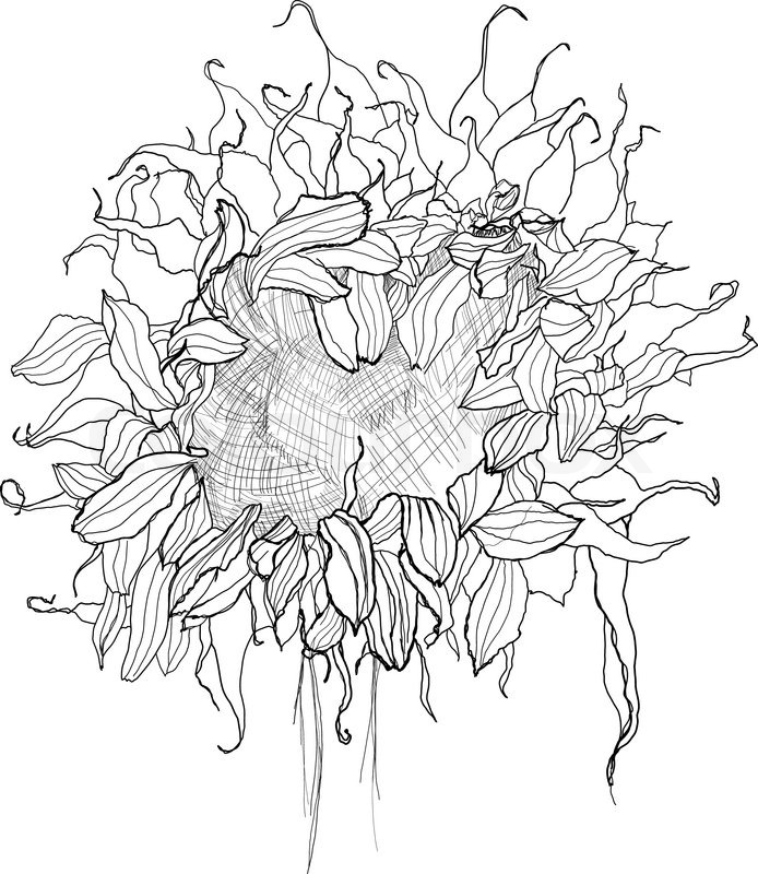 694x800 Pencil Drawing Sunflower Sketch Stock Vector Colourbox