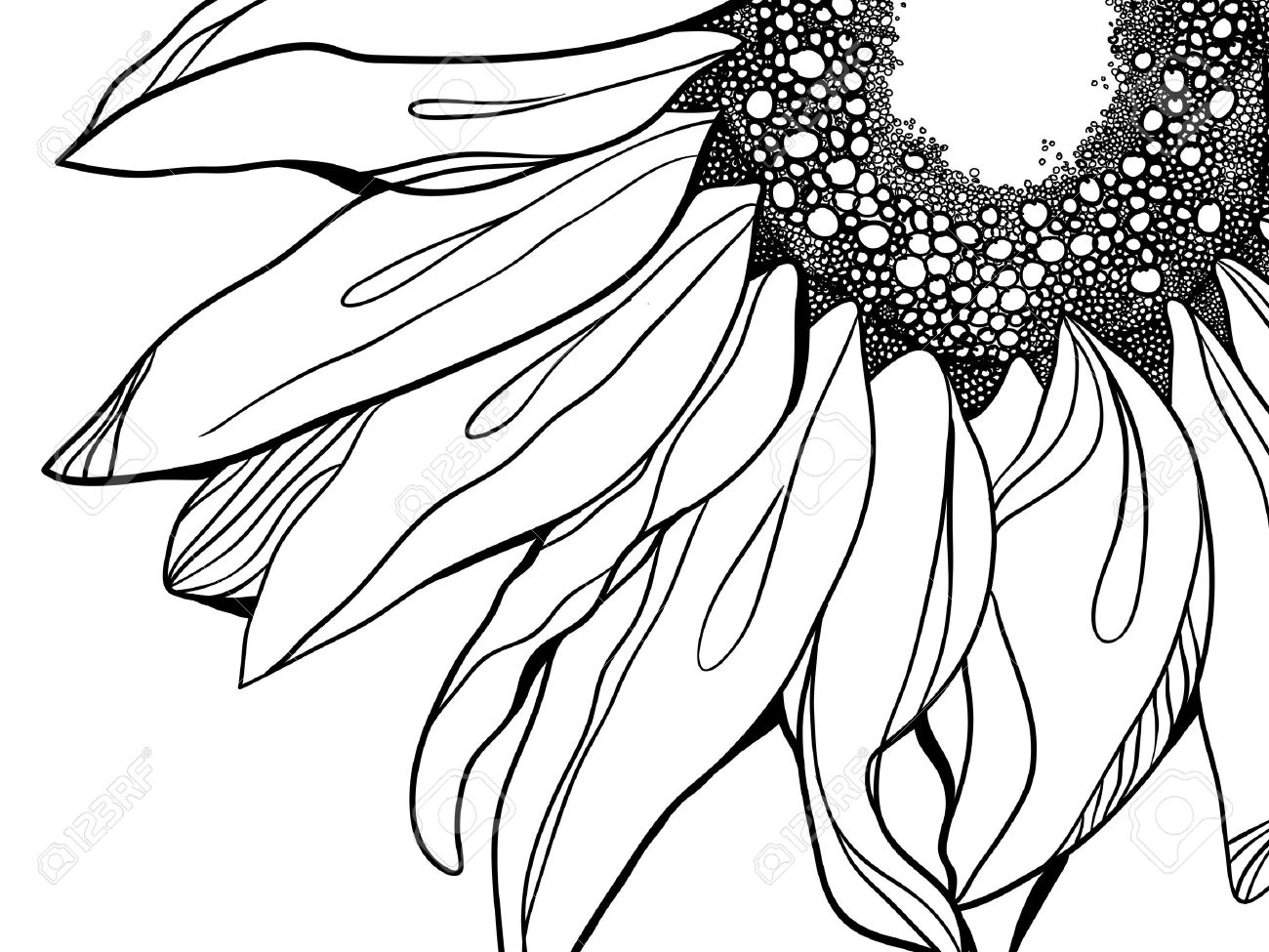 1300x975 Sunflower Illustration Royalty Free Cliparts, Vectors, And Stock