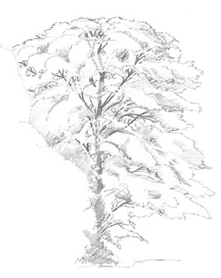 250x314 Drawing From Line To Life Draw Tree