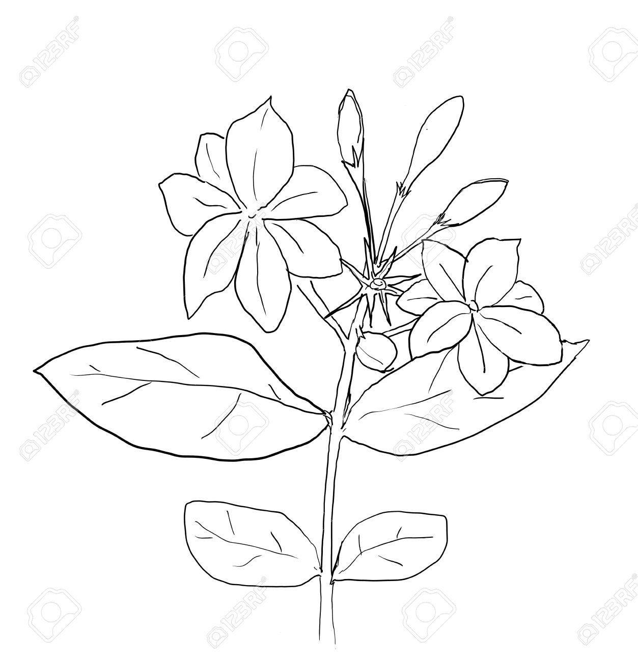 1253x1300 Arabian Jasmine Flower Drawing Line Art Stock Photo, Picture