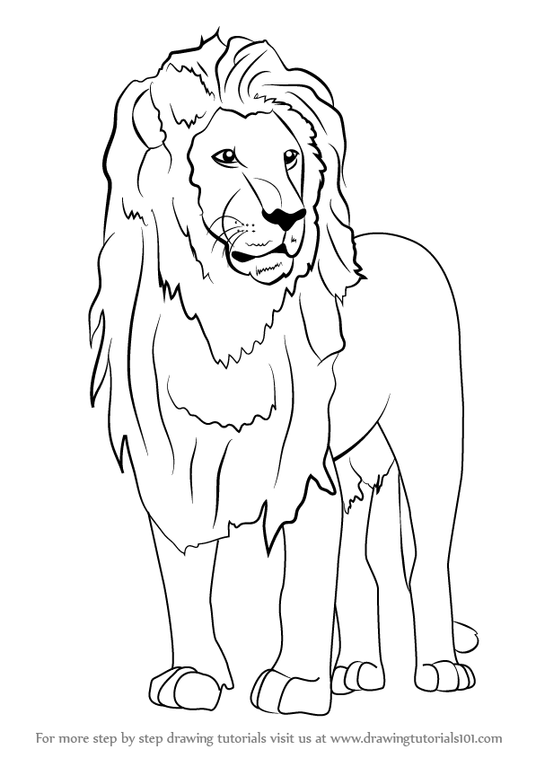 597x844 Learn How To Draw An Asian Lion (Wild Animals) Step By Step