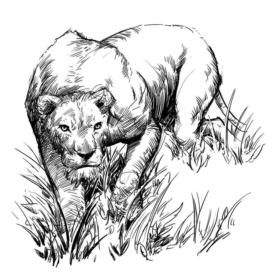 896x892 Lion Sketch By Jedi Art Trick