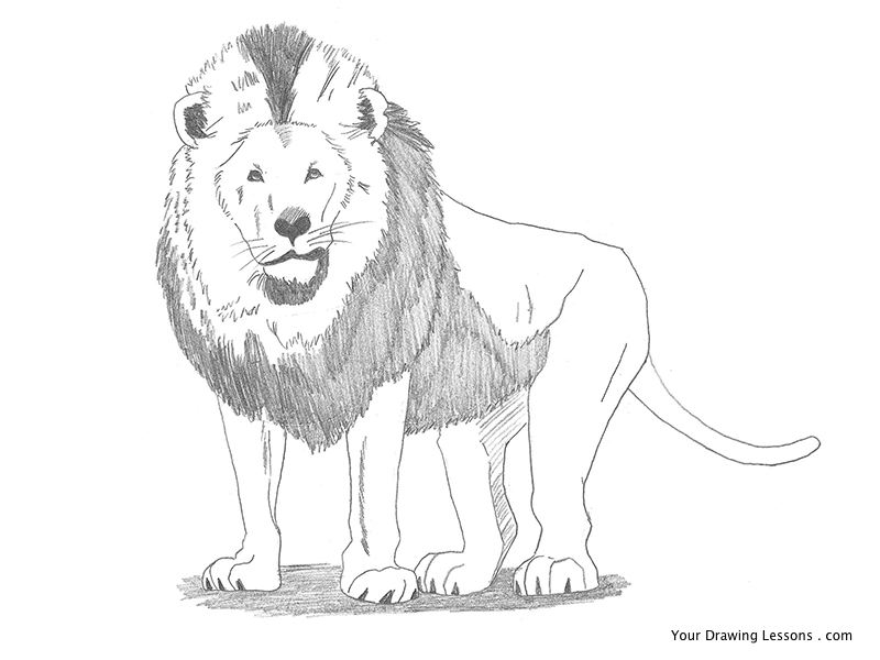 800x600 Lion Pencil Drawing By Mattleyva