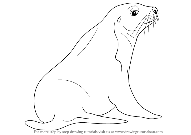 800x566 Learn How To Draw An Australian Sea Lion (Sea Water Animals) Step