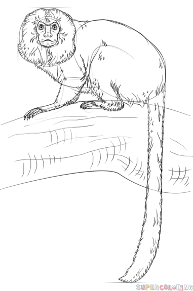 381x575 How To Draw A Golden Lion Tamarin Monkey Step By Step Drawing