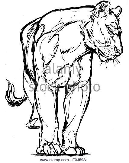 427x540 Female Hunger Lion Cat Big Stock Photos Amp Female Hunger Lion Cat