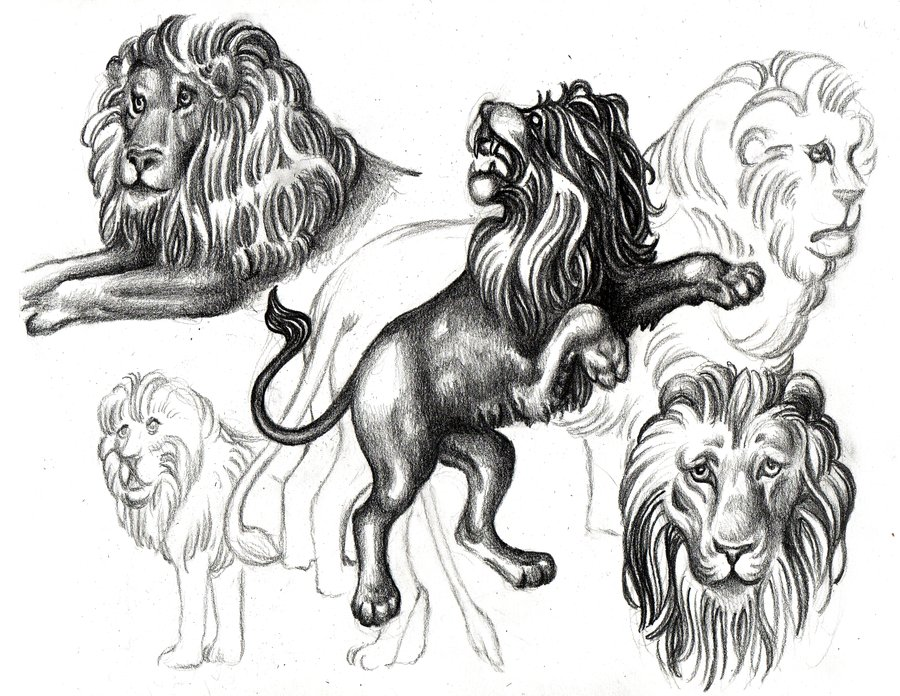 900x696 Lions Sketch By Outofmypen