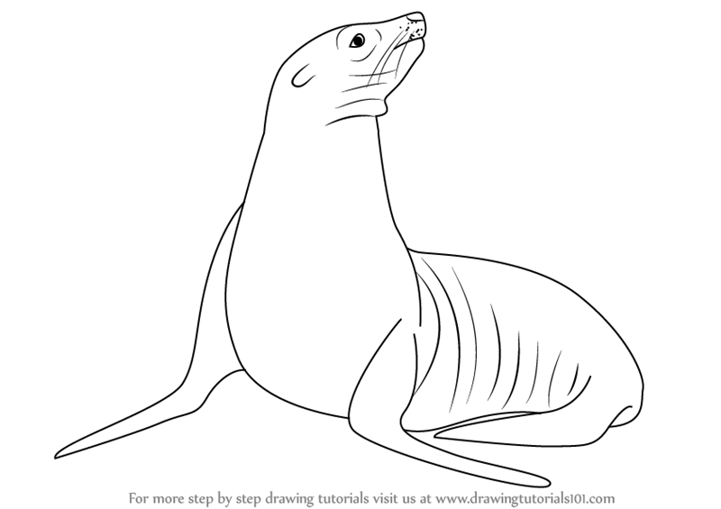 800x565 Learn How To Draw A California Sea Lion (Sea Water Animals) Step