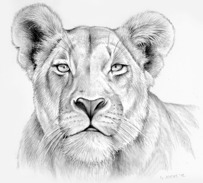 811x733 Lioness In Pencil By Gregchapin