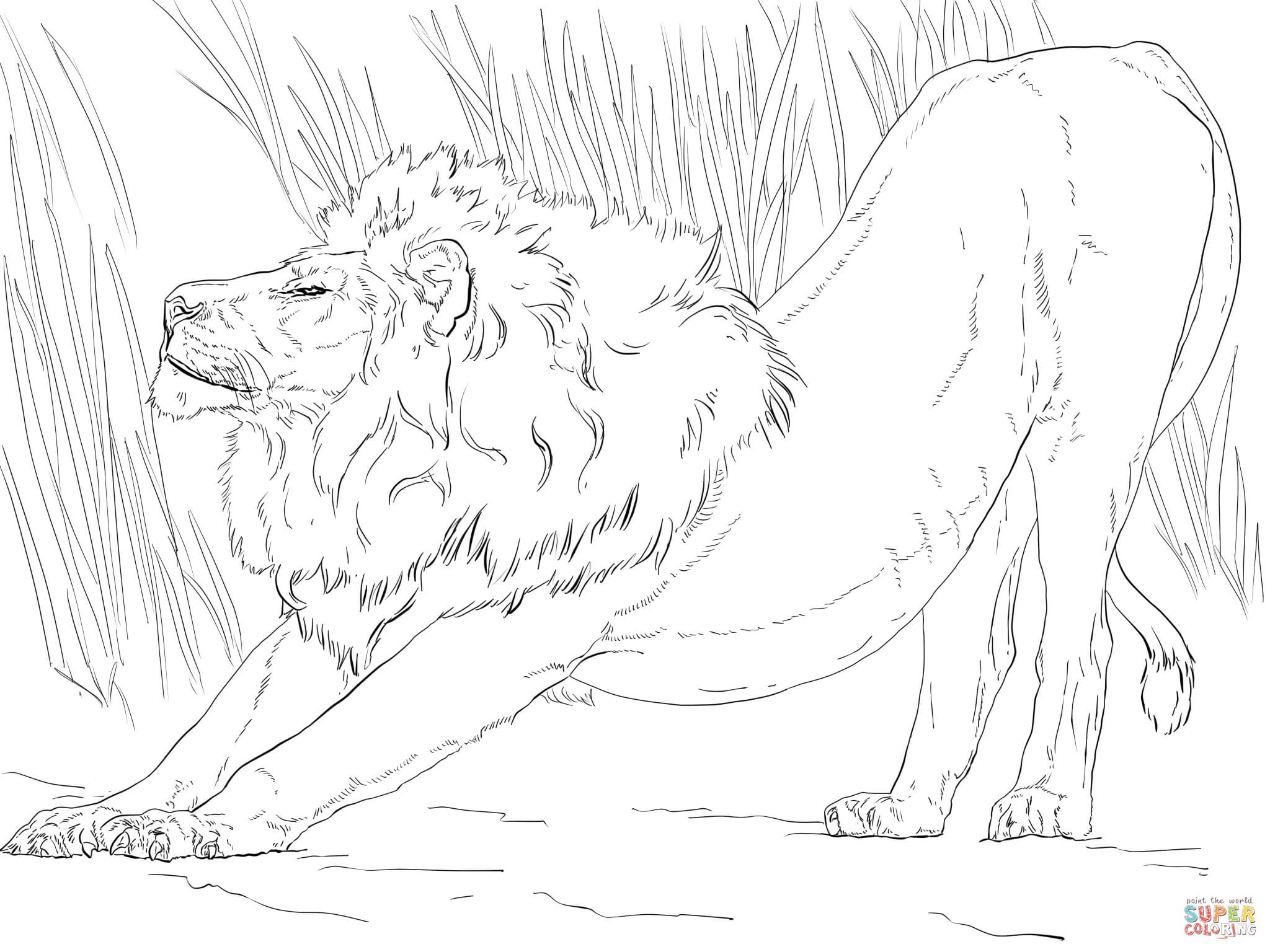 2048x1536 Lion Pride Coloring Pages Fresh Stretching Lion Coloring Page
