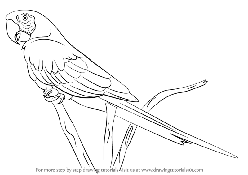 800x566 Parrot Line Drawing Simple Parrot Drawing