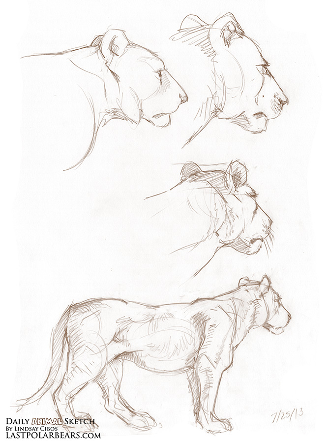 669x900 Lindsay Cibos' Art Blog Daily Animal Sketch Lioness