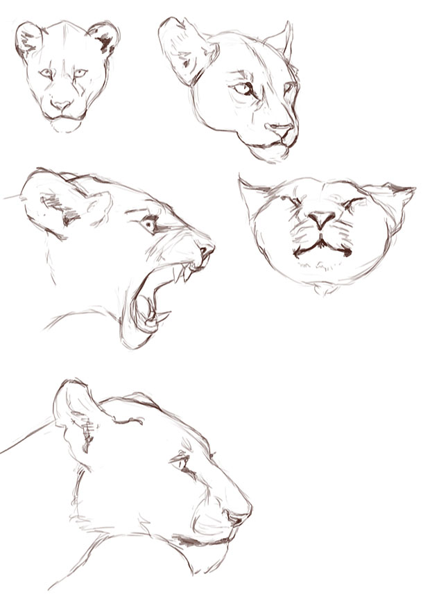 620x877 Lioness Sketches By Ciuchiban